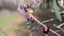 olive branch with olives, slider shot Footage