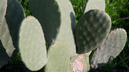 field of cactus from species Opuntia cactus indica Footage