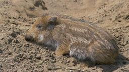 Piglet of wild boar. Young boar. Sus scrofa Live Action