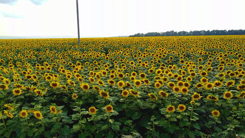Field of sunflowers Live Action