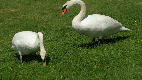 Wild fat swan feeding close to lake bank. White wild swan Live Action