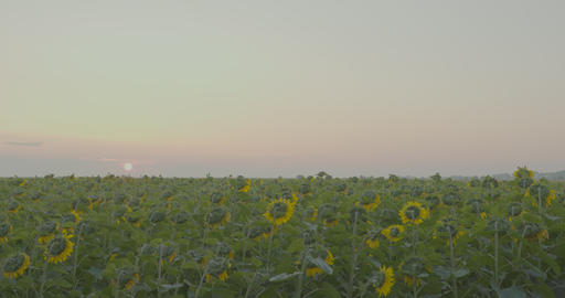 Sunflowers in the Field. Beautiful fields with sunflowers in the summer Footage