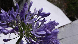 Asessippi Lilac flower in botanical garden Footage