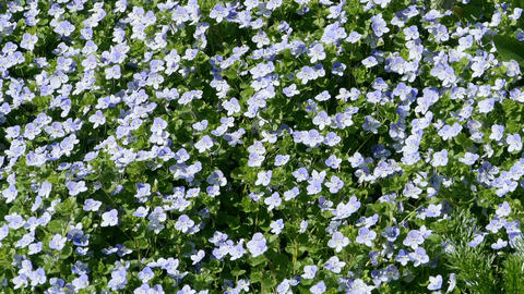 carpet from fresh flowers Live Action