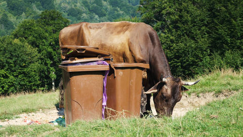 Cow eating plastic bag near garbage bins Live Action