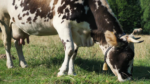 Cow eating grass on the pasture Live Action