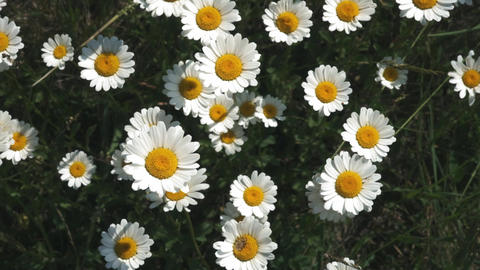 Summer nature meadow flowers view. Summer chamomile field landscape. Chamomile Live Action