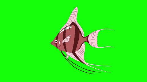Pink Scalare Angelfish Chroma Key looped Animation