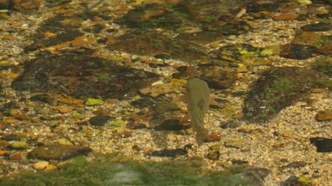ニジマス Rainbow trout 07 Live Action