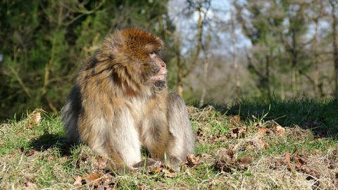 Barbary Macaque Monkey Footage