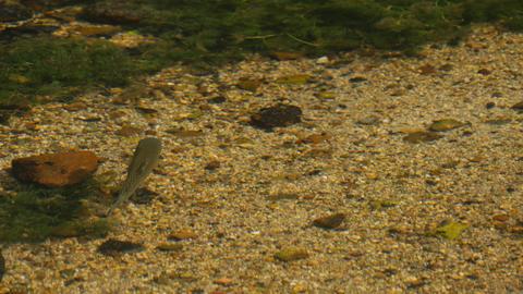 ニジマス Rainbow trout 08 Live Action