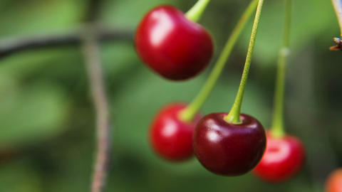 Cherry fruit on the branch Footage
