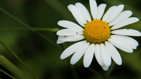 Daisy in the garden on a summer day Footage