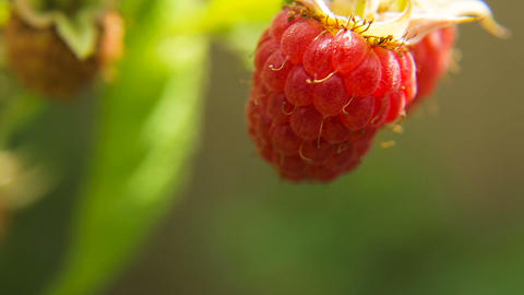 Close up of ripe raspberry Footage