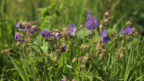 Beautiful purple wildflowers Footage