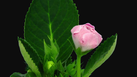 Time-lapse of blooming pink gloxinia flower in RGB + ALPHA matte format Live Action