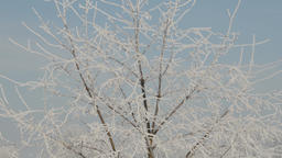 Zoom out shot from a frozen tree branches. Winter frost Live Action