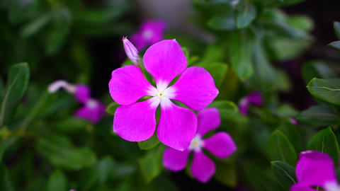 Pink, purple periwinkle on garden. Close up shot flower with wind, macro shot Live Action