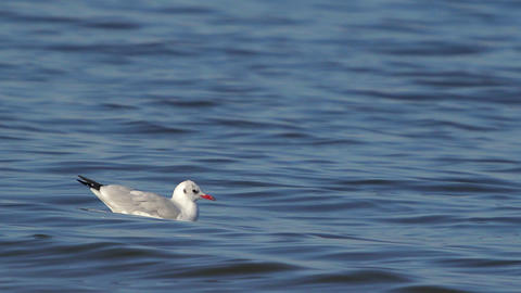 Lone Gull Floating On The River Footage