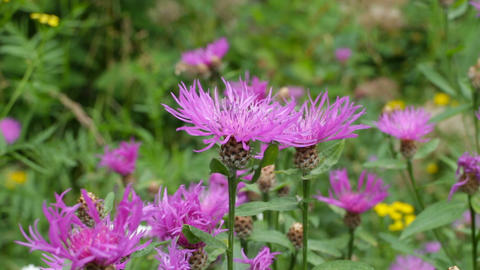purple flowers of a knapweed Live Action