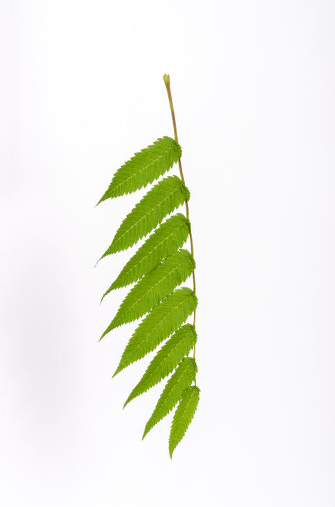 green leaves isolated on a white background Photo