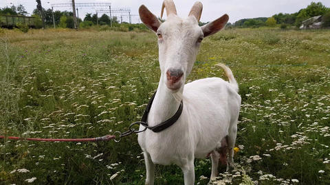 White goat with long horns grazes on a green meadow near the railway in the Footage