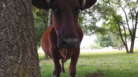 An old rural brown cow with twisted horns tied with a rope to a tree is grazed Footage