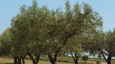 Olive trees plantation close up with waving leaves against blue sky GIF