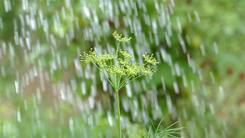 Dill watered and it bends but does not fall Footage