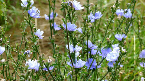 Blue wild flowers, summer, insects, wind, green, nature Footage