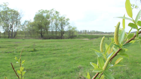 Young sprouts of a willow in the spring Footage