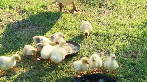 young goslings with goose Footage