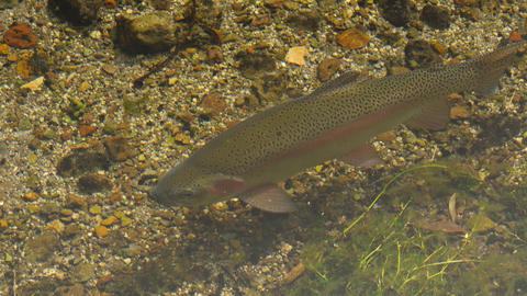 ニジマス Rainbow trout 09 Live Action
