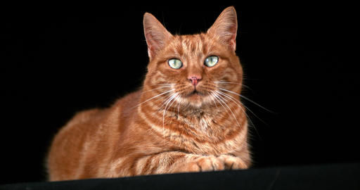 Red Tabby Domestic Cat, Adult Laying against Black Background, Real Time 4K Live Action