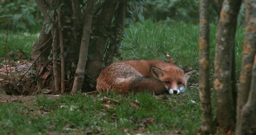 Red Fox, vulpes vulpes, Adult Sleeping, Normandy, Real Time 4K Live Action