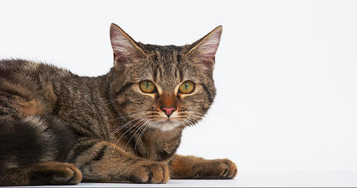 Brown Tabby Domestic Cat on White Background, Real Time 4K Live Action