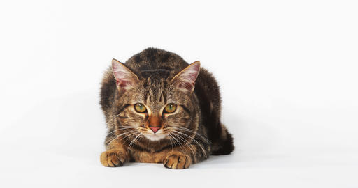 Brown Tabby Domestic Cat Meowing on White Background, Real Time 4K Live Action