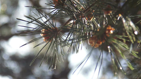 Pine Needles With Bokeh Footage
