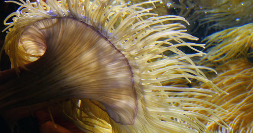 Sea Anemone, Real Time 4K Live Action