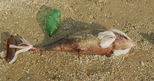 Environment and wildlife: dead young dolphin on the sea shore. Earth wildlife Live Action