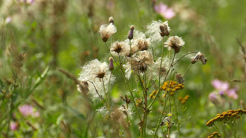 stalks of field weeds with fluffy seeds Live Action