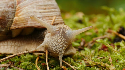Helix pomatia, edible snail or escargot, is a species of large, edible, air Footage