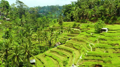 Aerial shot of the lush green rice paddies of Bali Live Action