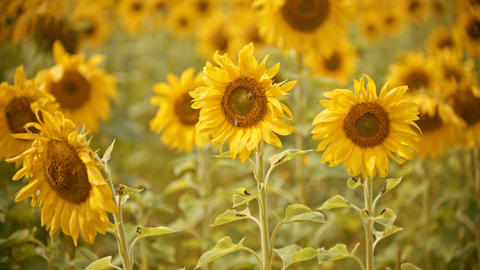 A bright yellow field of sunflowers - two bees sitting on the flower and Live Action