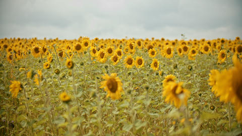 A field full of bright sunflowers in overcast weather Live Action