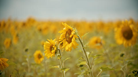A bright yellow sunflowers growing on the field - the bees sitting on the flower Live Action