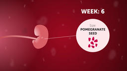 Fetal development (week 6). Gynecology 2d animation Animation