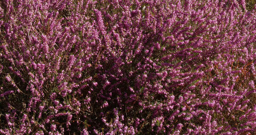 Blooming Heather in Normandy, France, Real Time 4K Live Action