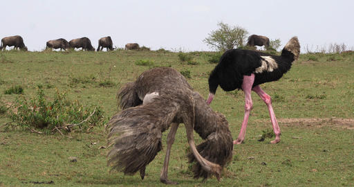 Ostrich, Struthio camelus, Male and Female,Courtship displaying before Mating, Masai Mara Park in Live Action