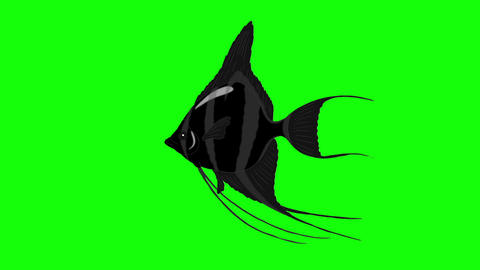 Black Scalare Angelfish Chroma Key looped Animation